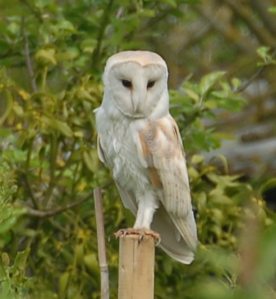 Rats and barn owls