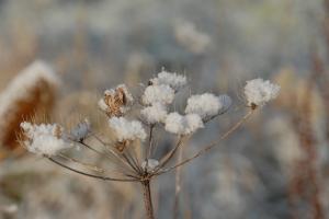 Seedhead in snow