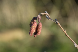 Alder catkins and flowers