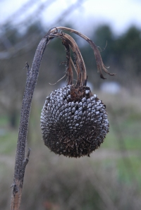 Grow-it-yourself bird feeder (sunflower seed head)