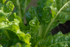 Perpetual spinach - living up to its name, March 2014