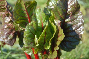 Rainbow Chard, still going strong after the winter
