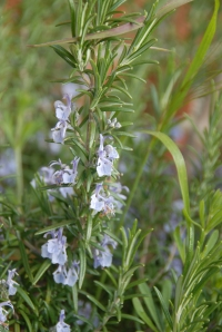 Rosemary flowers - loved by bees