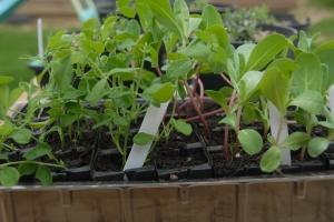 Sweet peas and cerinthe seedlings
