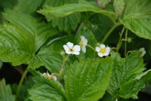 Alpine strawberry flowers