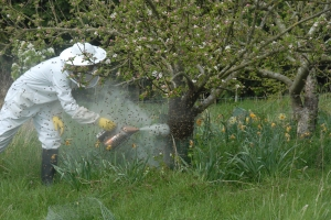 Encouraging the bees up the tree