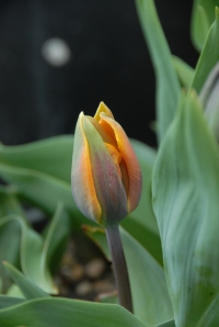 Late-planted tulips - they made it!