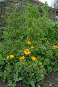 The tall salad burnet at the back of the calendula has been eaten by pigeons - grrrr!