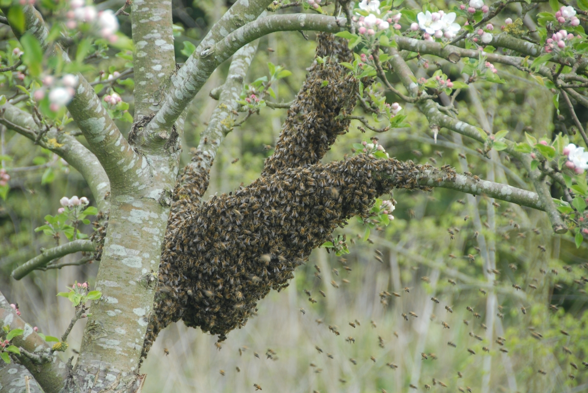 The bees swarm!
