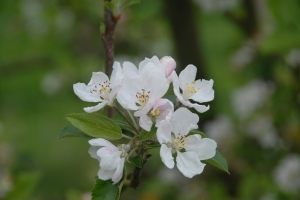 Yay for apple blossom!