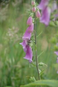 Bee in foxglove