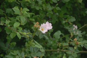 A dog rose in the lanes