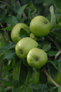 Grenadier apples - a useful early-ripening cooker