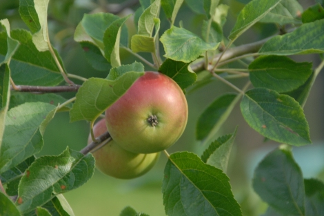 Discovery apples, always the first ones to ripen...