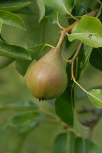 Pear - no idea what sort!