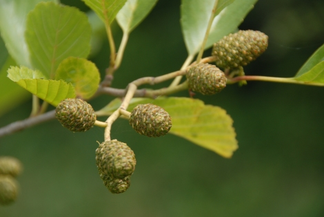 Alder seed-pods forming