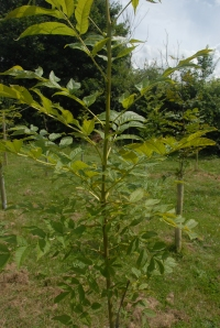 Healthy growth on this ash sapling - no sign of 'die-back disease' yet