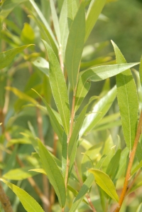 Lovely willow leaves